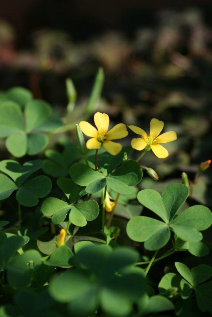 カタバミ花