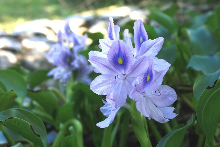 ホテイアオイ 花